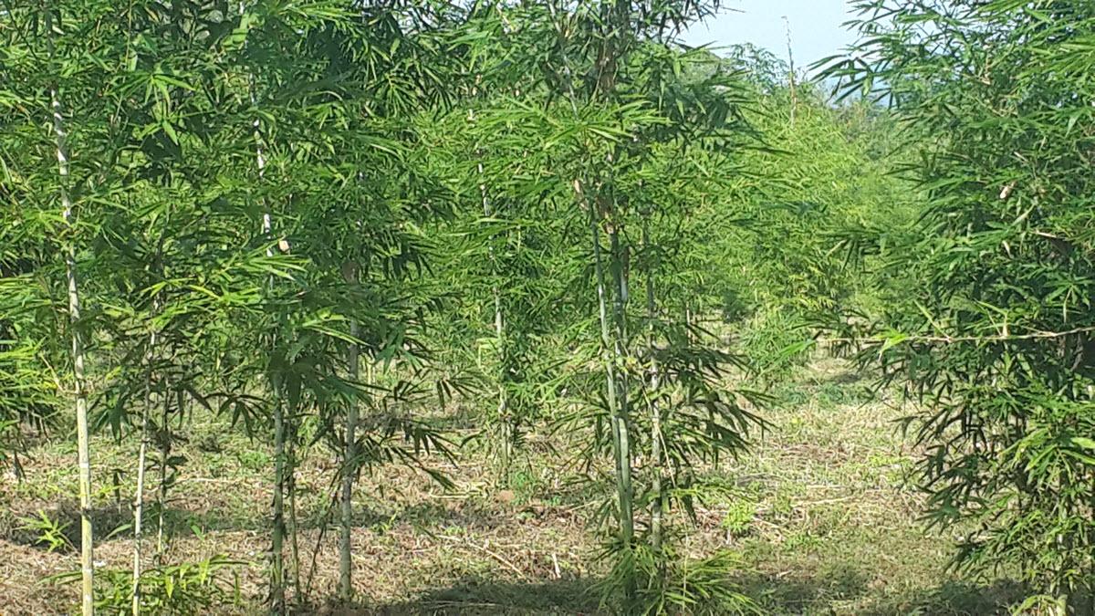การมีส่วนร่วมของชุมชนปลูกไผ่ จำนวน 20,000 กล้า/ปีในที่ดินกรรมสิทธิ์ 50 ไร่/ปี สวนป่าเศรษฐกิจชุมชน 50 ไร่/ปี และปลูกในพื้นที่ป่าชุมชน 100 ไร่/ปี